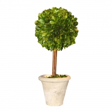 "5"" X 12"" Elma Preserved Boxwood Topiary Single Ball"