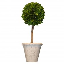 "16"" Edgewood Preserved Boxwood Single Ball Topiary"